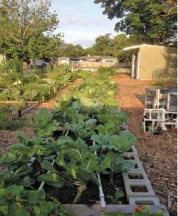 Benevolent grow beds with collards. FCC Garden grew and donated over 600 lbs of produce to local shelters last season (November to April).