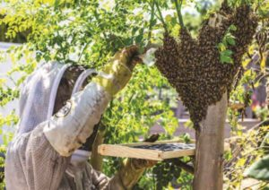 feral honeybees