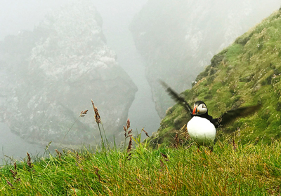 Michelle's photography of a Puffin in Iceland.